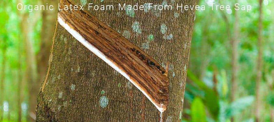 Image of Organic Latex Foam From Hevea Tree Sap Una Organic Mattress